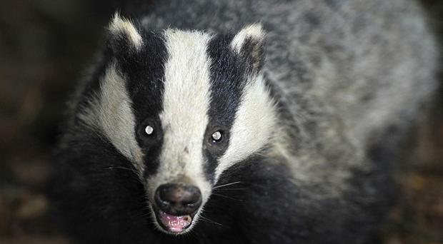Labour has launched a campaign opposing the culling of badgers