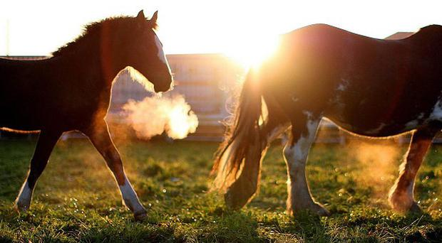 Scores of stray horses have been put down after being recovered from Galway city housing estates