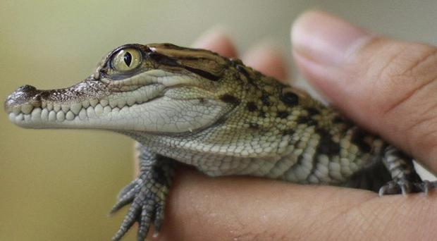 A baby Siam crocodile is held after it hatched from an egg at a zoo in Laos (AP/Wildlife Conservation Society)