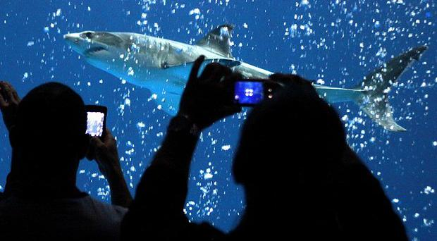 A great white shark swims inside the Open Sea exhibit at the Monterey Bay Aquarium in California (AP)