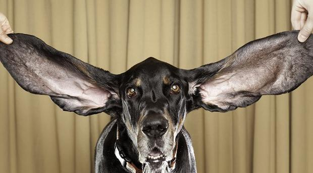 A US dog called Harbour has been recognised as having the longest ears in the canine world (AP)