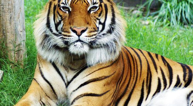 Texas zoo officials said the killing of a rare Malayan tiger by his mate caught the zoo completely by surprise (AP)