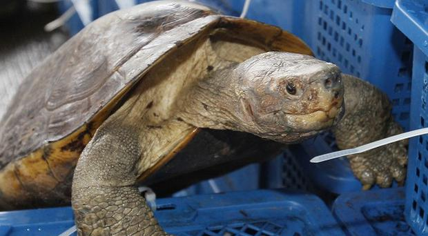 One of the turtles which was among nearly 3,000 rare animals found by Thai officials (AP)