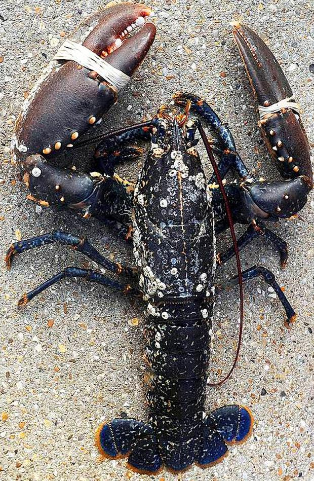 Catch of the day: Dessie the lobster is estimated to be between 60 and 70 years old