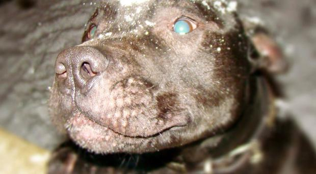 Lennox was seized by Belfast City Council dog wardens in May 2010 and has been impounded in kennels since
