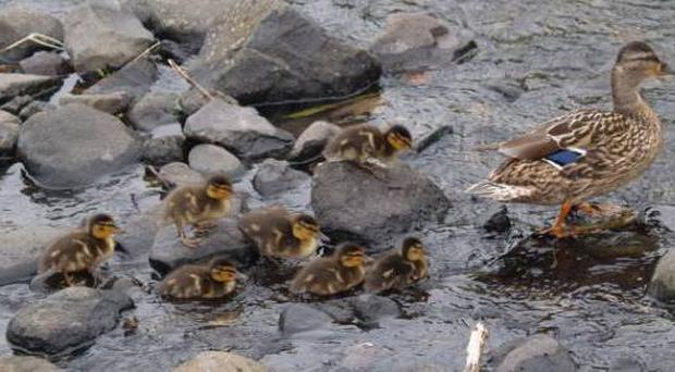 Ronnie McClelland This Duck and its ducklings enjoying a dip in the stream at my favourite beach Downhill