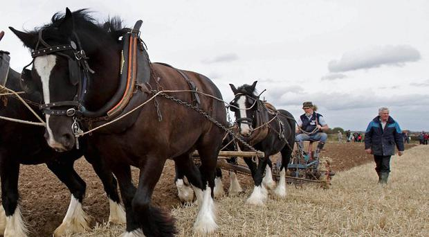 Godfrey Worrell from Kildare and his Dublin Cob horses take part in the horse category of the National Ploughing Championships