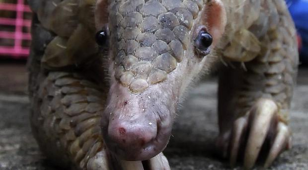 Nearly 100 pangolins have been rescued in Thailand (AP)