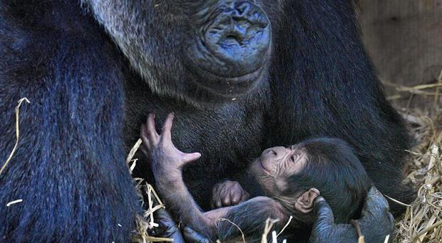 Bristol Zoo's newborn baby gorilla - which hasn't yet been named - with its mother Salome