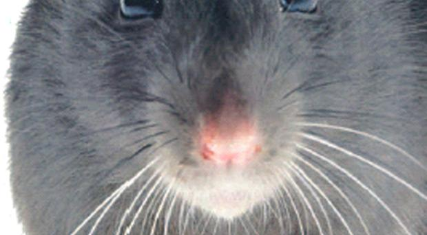 There were over 2,000 complaints about rats last year in Belfast
