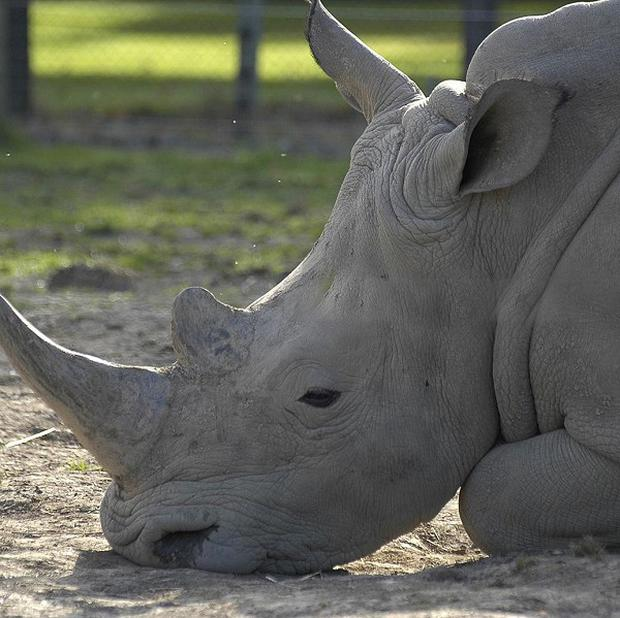 The world rhino population has been hit by a surge in poaching, the WWF has said