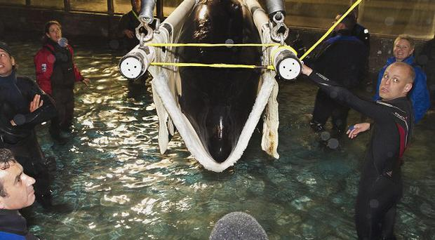 The female orca named Morgan is prepared to be hoisted by crane into a container on a truck at the Dolfinarium in Harderwijk, Netherlands (AP)
