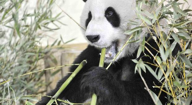 Yang Guang settles into his new home at Edinburgh Zoo after arriving in the UK from China