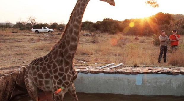 Lucy the giraffe fell into the swimming pool on the set