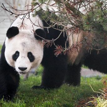 Giant Panda Yang Guang has been getting accustomed to his new enclosure at Edinburgh Zoo along with female Tian Tian