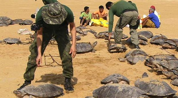 Federal police and environmental agents release Amazon turtles after rescuing them from hunters in Cracarai, Brazil (AP/Ibama)