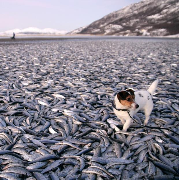 Norway locals were stunned to find tens of thousands of dead herring had carpeted a stretch of coast - and then disappeared (AP)