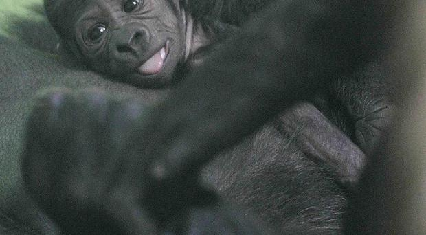 Baby gorillas are among the newest arrivls at Dublin Zoo