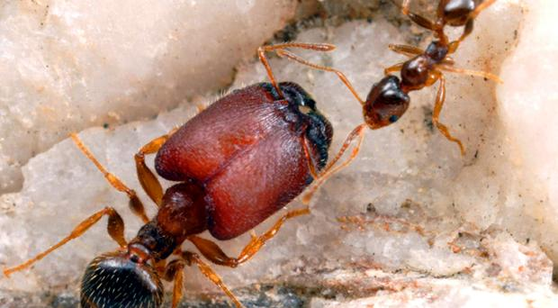 Undated handout photo issued by alexanderwild.com of a 'supersoldier' ant with a minor worker from the same colony