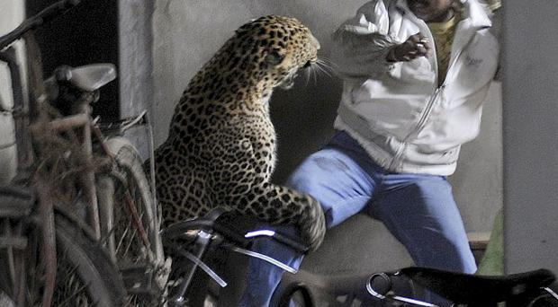 A leopard attacks a man after wandering into a residential neighbourhood in Gauhati, India (AP Photo/Manas Paran, The Sunday Indian)