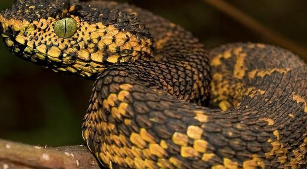 A Matilda's Horned Viper, the world's newest snake which was discovered in a small patch of south-west Tanzania (AP)