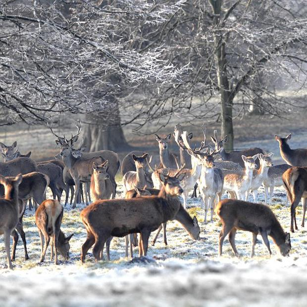 Deer herds at Studley Royal near Ripon, were staying close together as white frost covers trees and grass