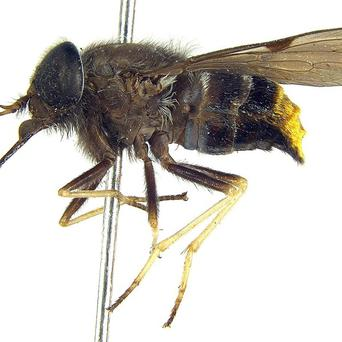 A newly discovered horsefly in Australia has been named after pop diva Beyonce (Bryan Lessard/CSIRO)