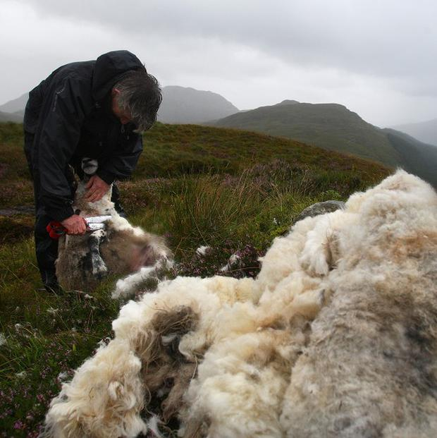 It has been suggested sheep shearing should become an Olympic demonstration sport