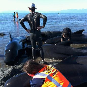 Stranded pilot whales are helped by volunteers at Farewell Spit on New Zealand's South Island (AP)