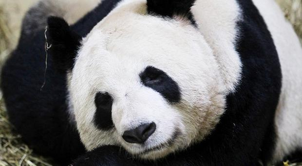 Giant panda Tian Tian asleep at Edinburgh Zoo