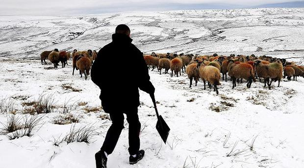 Livestock on high ground near Hawes in the Pennines are tended to as forecasters warn of severe weather