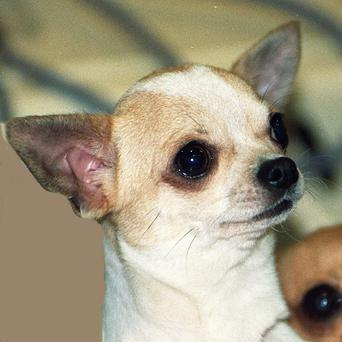 Authorities say a California man killed a Chihuahua by hitting the dog with a golf club
