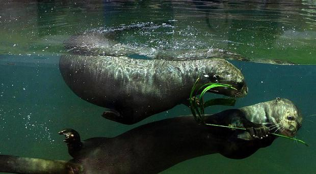 Chester Zoo is opening the UK's first underwater viewing zone for giant otters