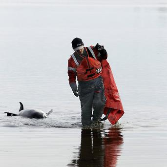 Rescuer Kat Rose walks away from a dead dolphin the team was unable to save(AP)