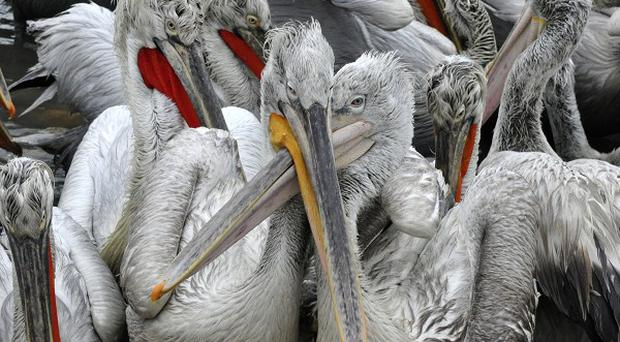 Endangered Dalmatian pelicans at a shipyard near Makhachkala on the Caspian Sea (AP)