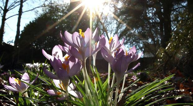 Crocus take advantage of the sunshine and milder conditions in a Midlands garden