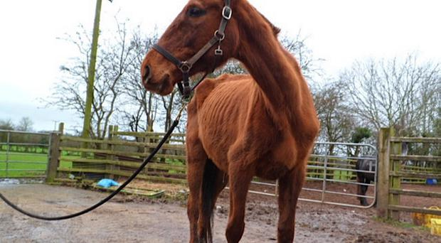 One of the horses found by the Crosskennan Lane Animal Sanctuary. It was nearly starved to death