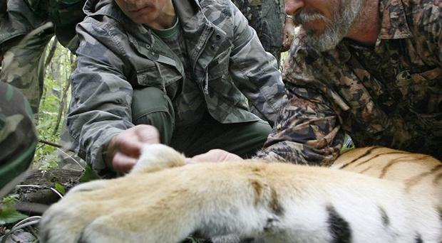 Vladimir Putin, left, looks at the tranquillised five-year-old Ussuri tiger (AP Photo/RIA-Novosti, Alexei Druzhinin)