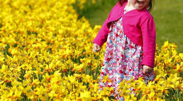 Two-year-old Cecily Dargan plays in the daffodils in a sunny Lee-on-the-Solent, Hampshire