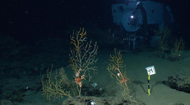 Scientists using the robot-armed submersible Alvin to find evidence of coral damage by the Deepwater Horizon oil spill