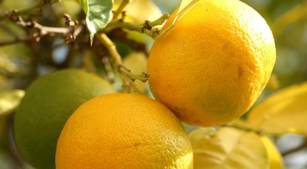 Citrus greening, also known as huanglongbing, has been discovered in lemon/pummelo trees in Los Angeles County