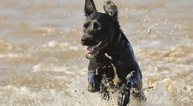 Poppy, the labrador Collie cross, enjoys the mild seawater on the beach at Weston-super-Mare, Somerset