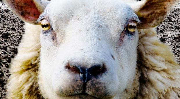 Here's looking at ewe: sheep retina scanning is being introduced in Northern Ireland after livestock rustling has surged in scale