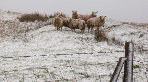 Sheep brave the elements on an exposed hilltop in the Mournes