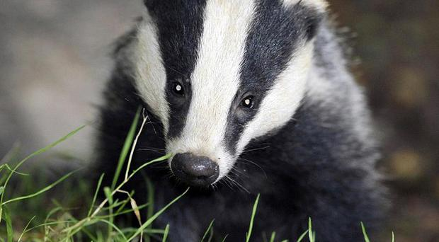 A judicial review is to be held into the Government's decision in favour of a badger cull