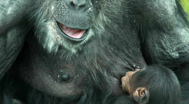 Monkey magic: at the age of 40, Lizzie has given birth to a baby chimpanzee at Belfast Zoo, which has been named Lucy