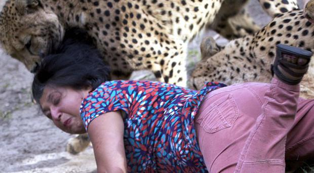 Violet D'Mello, from Aberdeen, is attacked by cheetahs during a visit to a game reserve near Port Elizabeth, South Africa (AP/Archibald D'Mello)