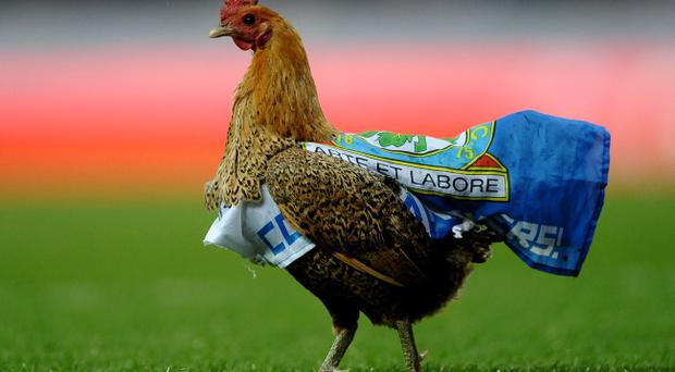 BLACKBURN, ENGLAND - MAY 07: A chicken walks across the pitch during the Barclays Premier League match between Blackburn Rovers and Wigan Athletic at Ewood Park on May 7, 2012 in Blackburn, England. (Photo by Laurence Griffiths/Getty Images)