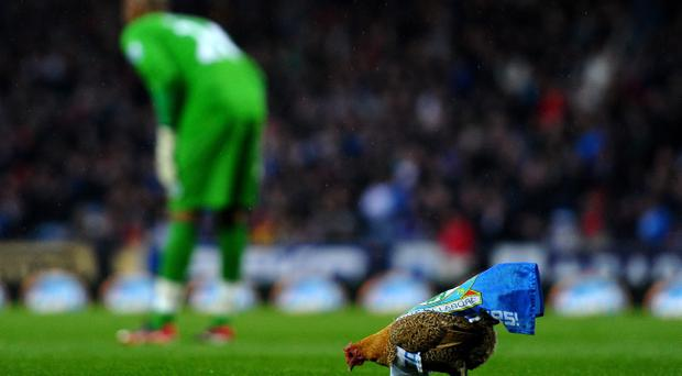 A chicken walks across the pitch during the Barclays Premier League match between Blackburn Rovers and Wigan Athletic at Ewood Park on May 7, 2012. The chicken was smuggled into the ground in protest at Blackburn's owners Venky's, an Indian company that specialises in chicken meat processing.