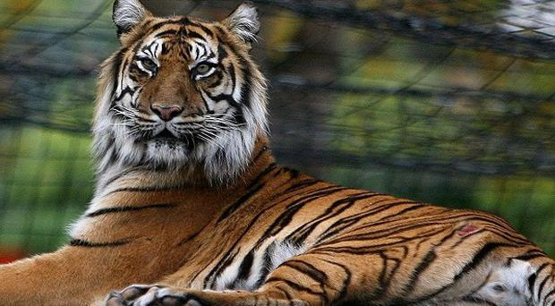 There has been a decline of 70 per cent in the number of Asian tigers in the last three decades, a report has found